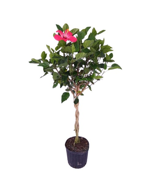 Buy Hibiscus Painted Lady Free Shipping Over 100