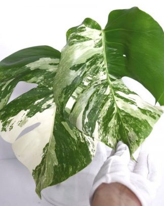 Monstera Albo Cuttings by Plantics