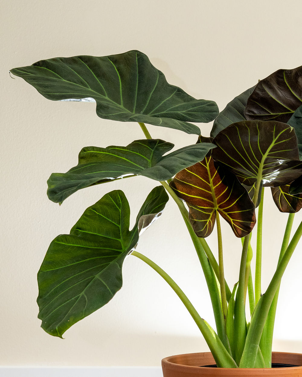 Shipping Container Designs: Buy Alocasia 'Regal Shields', Elephant Ear