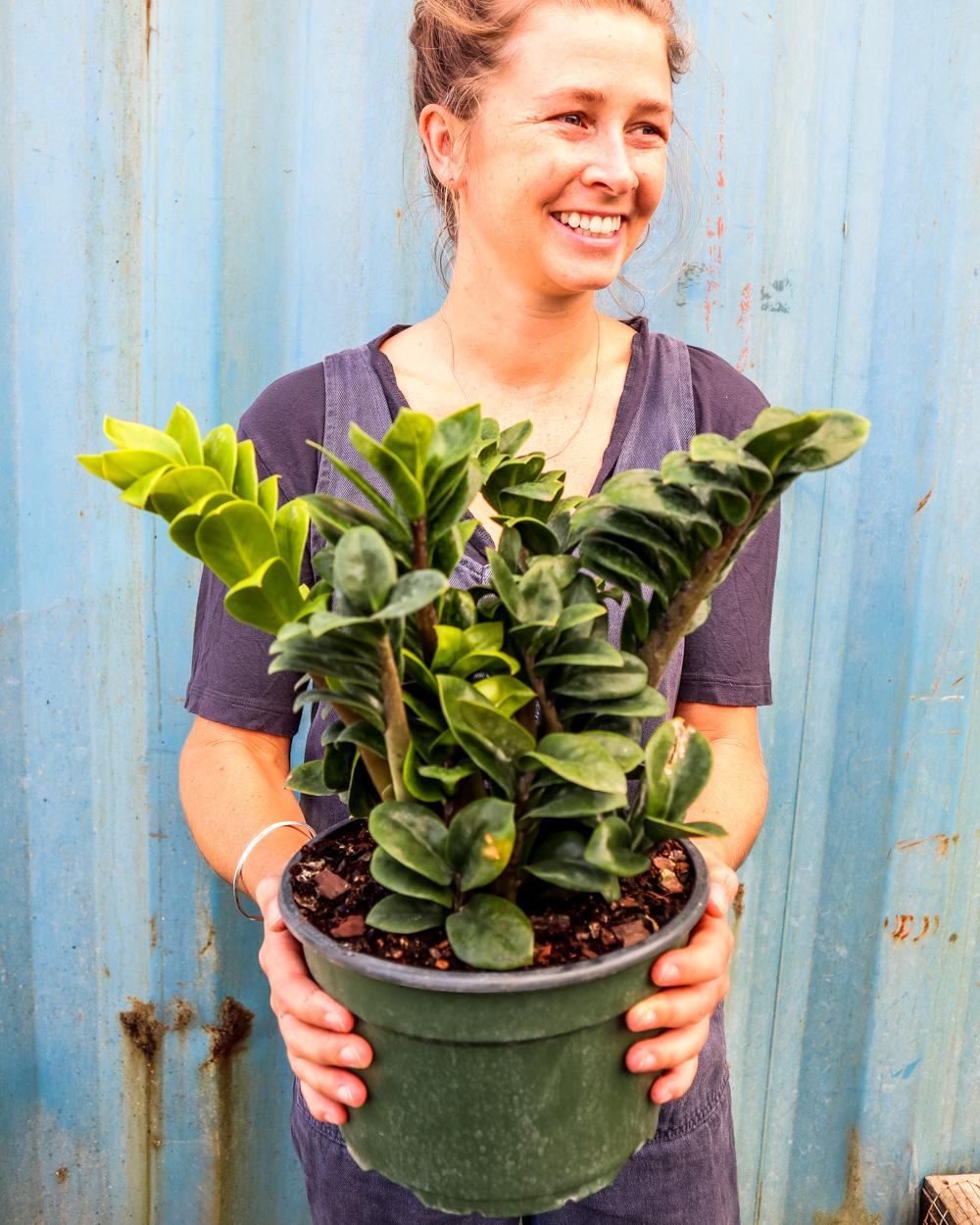Buy Dwarf Zz Plant Zamioculcas Zamiifolia Zenzi Free