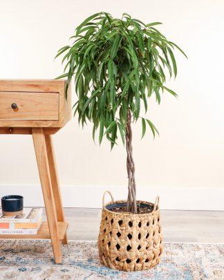 Ficus binnendijkii 'Alii', Ficus maclellandii 'Alii', Long Leaved Fig