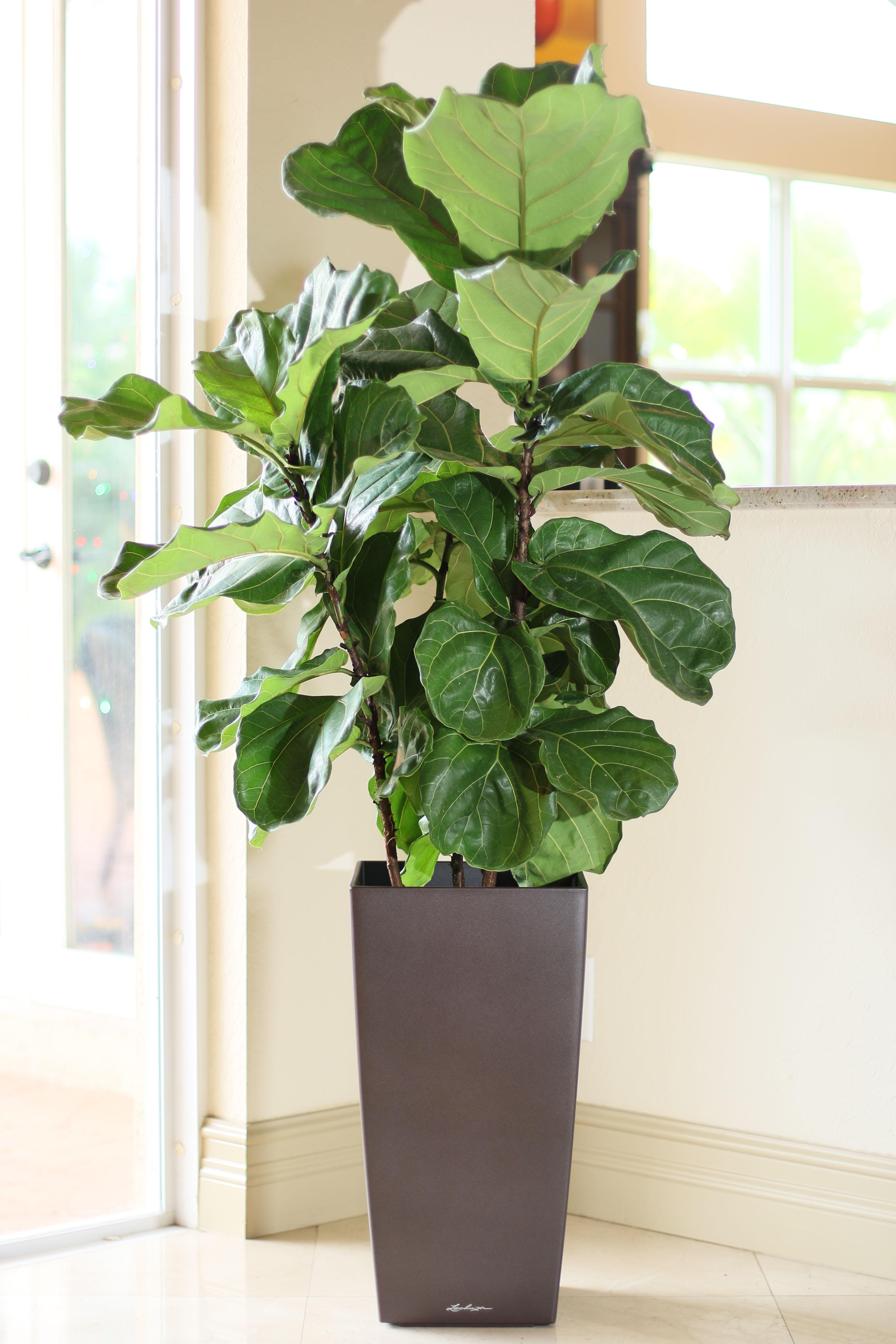 ficus lyrata fiddle leaf fig plantvine. Black Bedroom Furniture Sets. Home Design Ideas