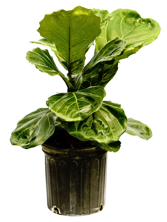 Buy Ficus Lyrata Fiddle Leaf Fig Free Shipping Over 100