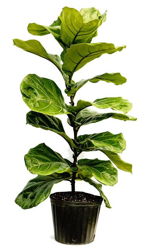 Buy Ficus lyrata, Fiddle Leaf Fig | Free Shipping over $100