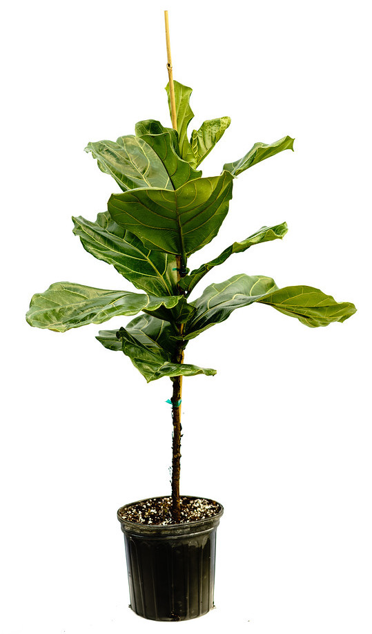 Ficus Pandurata Bush