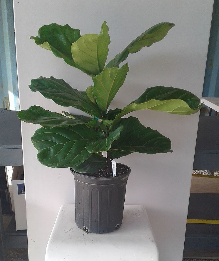 ficus lyrata fiddle leaf fig ficus pandurata plantvine. Black Bedroom Furniture Sets. Home Design Ideas