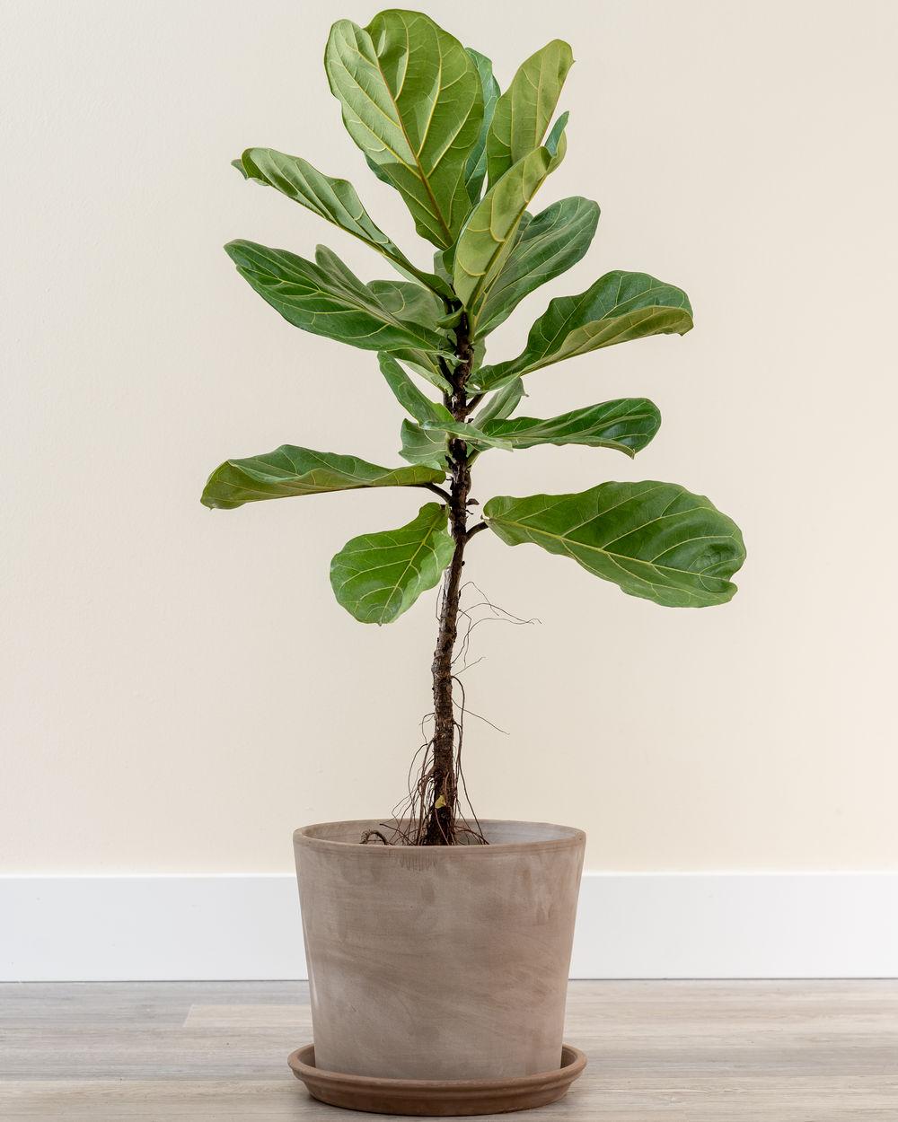 Buy Ficus Lyrata Fiddle Leaf Fig Free Shipping Over 100