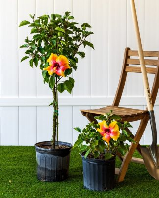 Hibiscus rosa-sinensis 'Fiesta', Tropical Hibiscus
