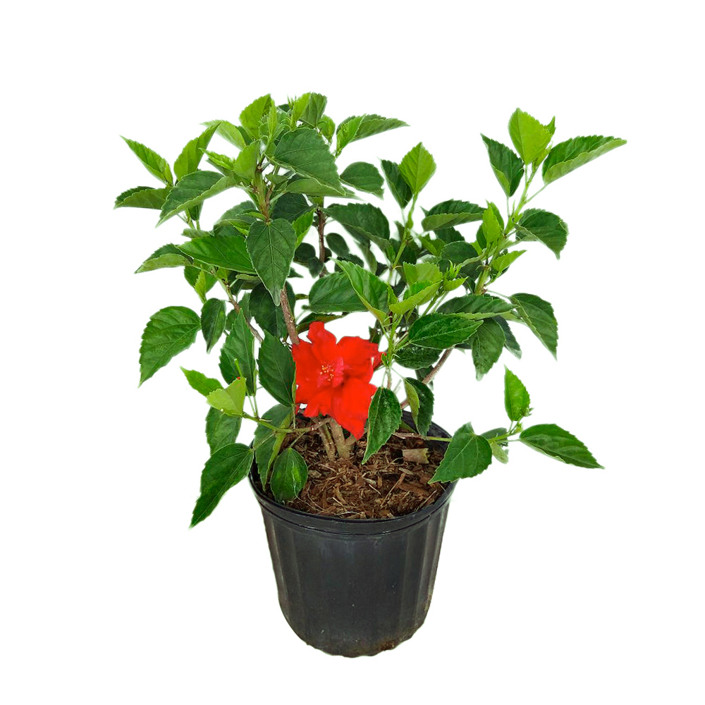 Buy Hibiscus Rosa Sinensis Double Red Tropical Hibiscus Free