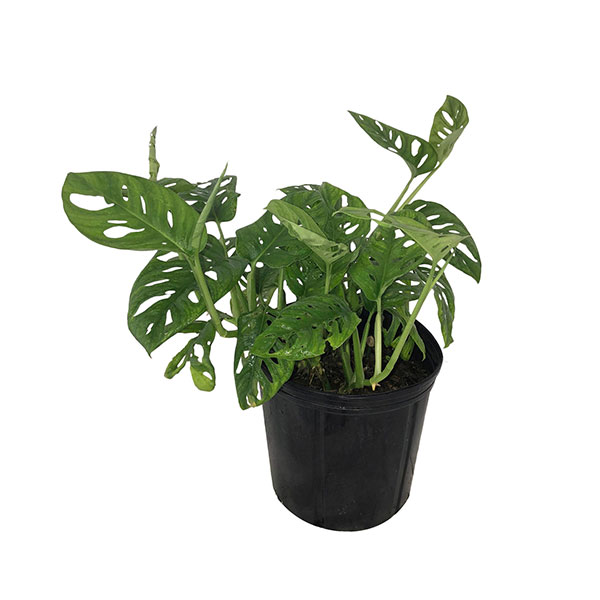 Buy Monstera adansonii, Monstera Plant, Swiss cheese Philodendron
