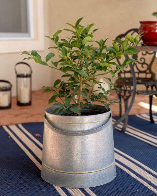 Citrus limon 'Meyer', Meyer Lemon Tree (Edible)