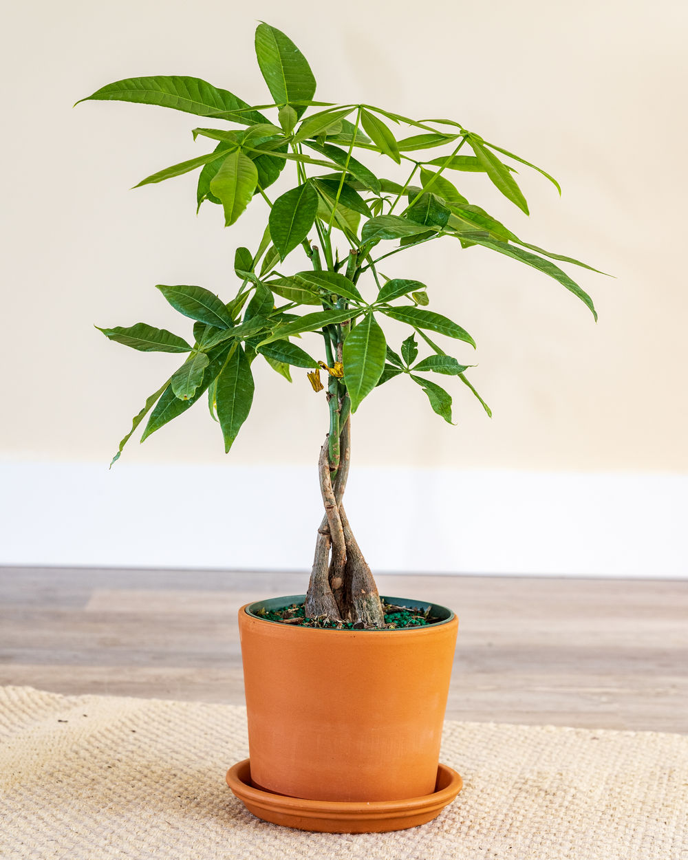 Buy Pachira Aquatica Money Tree Free Shipping Over 100