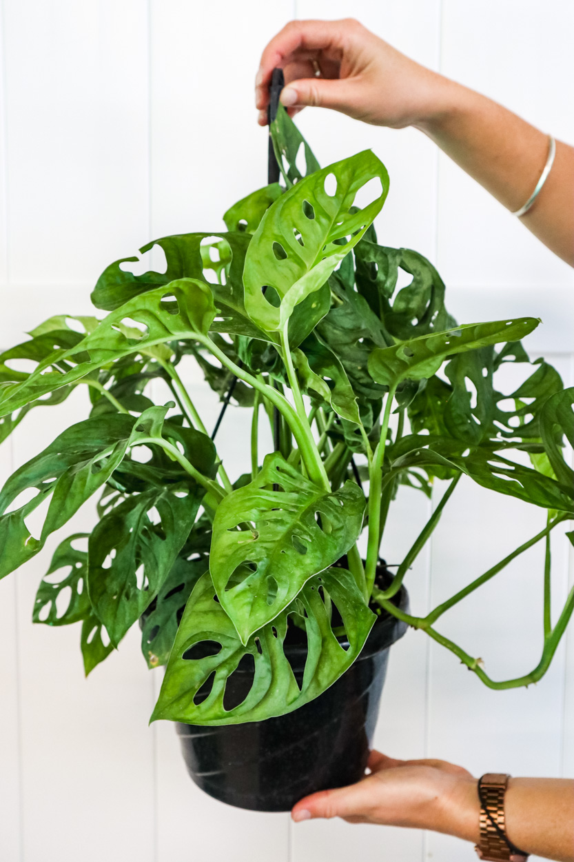 Buy Monstera Adansonii Monstera Plant Swiss Cheese Philodendron Free Shipping Over 100