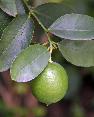 Persian Lime (Edible), Citrus latifolia 'Persian'