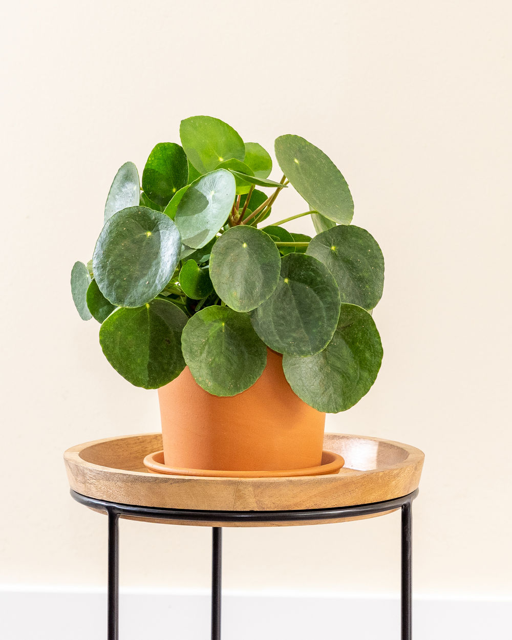 Pilea peperomioides, Chinese Missionary Plant, Chinese Money Plant
