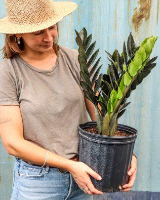 Zamioculcas zamiifolia, Black Raven ZZ Plant, Ultra Rare Black Leaf ZZ