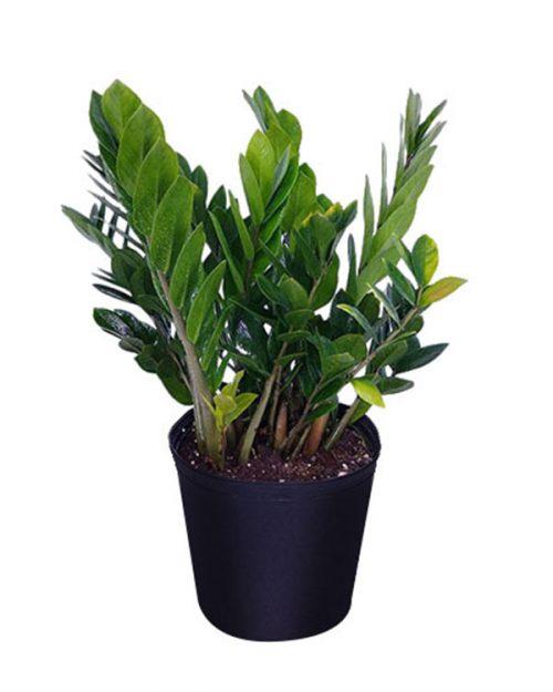 Buy Zamioculcas Zamiifolia Zz Plant Zanzibar Gem Free
