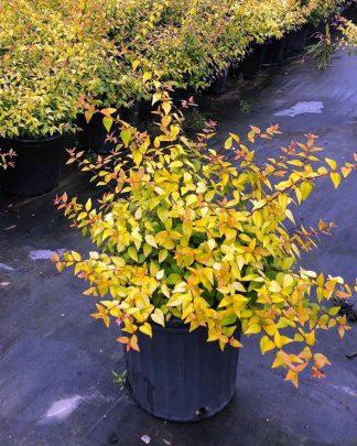 Abelia x grandiflora 'Francis Mason', Glossy Abelia