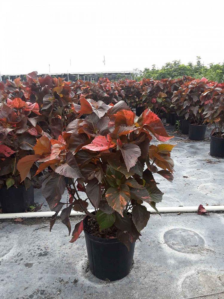 Acalypha Wilkesiana Louisiana Red Copperleaf Plantvine