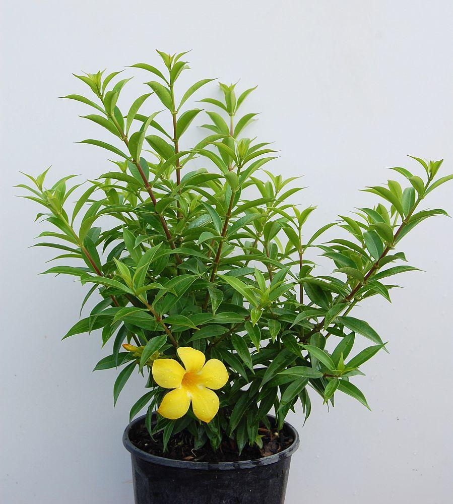 Allamanda Schottii Bush Allamanda Plantvine