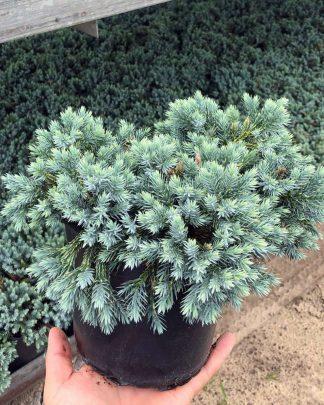 Juniperus squamata 'Blue Star', Flaky Juniper, Himalayan Juniper