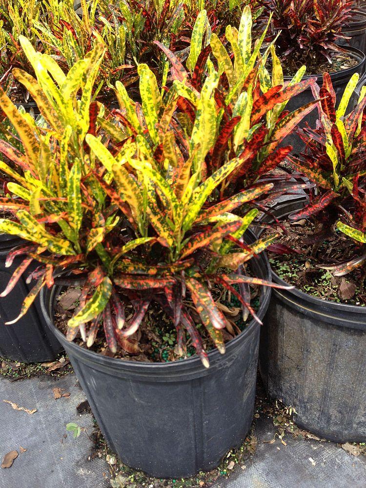 Codiaeum variegatum 'Batik', Croton - Large