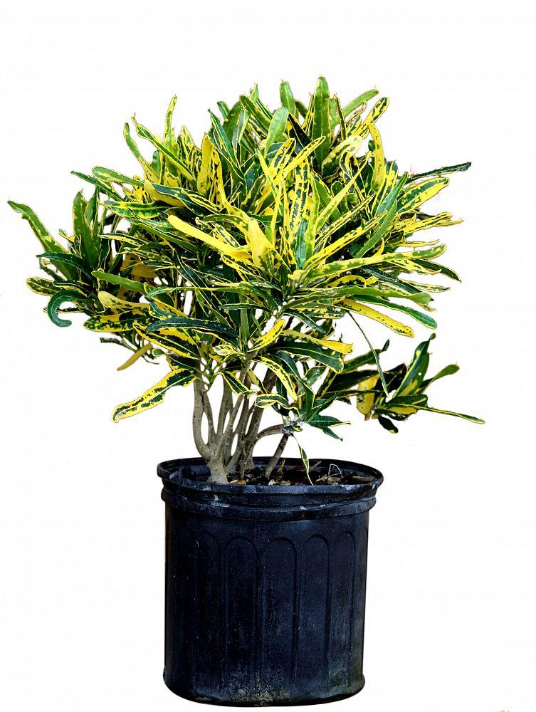 Buy Codiaeum variegatum 'Eleanor Roosevelt', Croton | Free Shipping