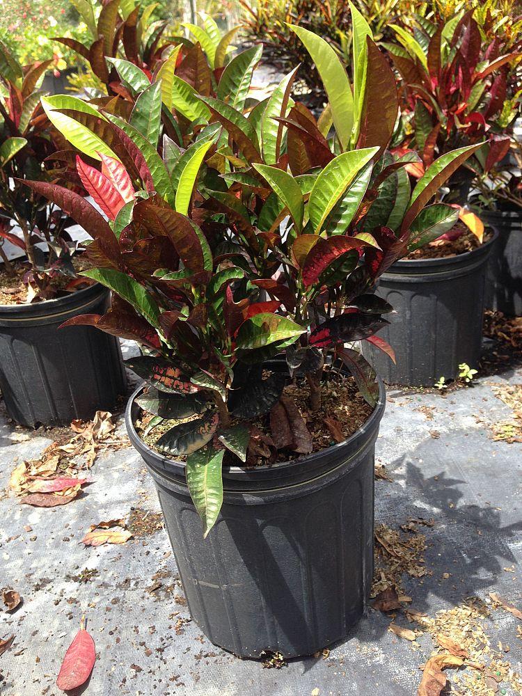 Codiaeum variegatum 'Icetone', Croton - Large