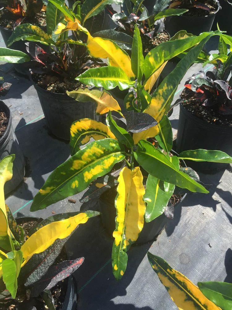 Buy Codiaeum variegatum 'Mango', Croton | Free Shipping over $100