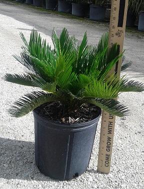 cycas revoluta king sago palm cycad plantvine. Black Bedroom Furniture Sets. Home Design Ideas