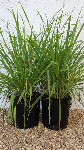 cymbopogon citratus lemongrass plantvine. Black Bedroom Furniture Sets. Home Design Ideas