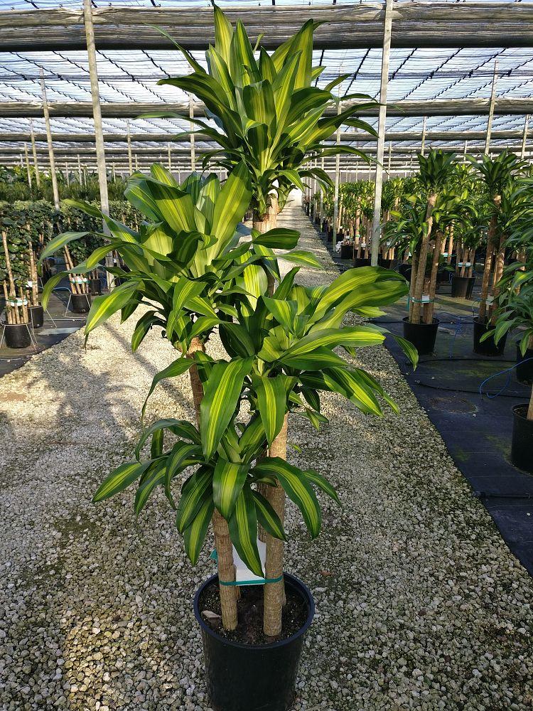 dracaena fragrans 39 massangeana 39 corn plant plantvine. Black Bedroom Furniture Sets. Home Design Ideas