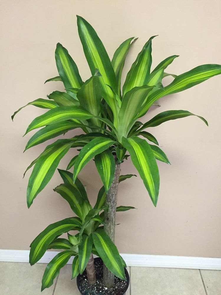 dracaena fragrans 39 massangeana 39 cane corn plant plantvine. Black Bedroom Furniture Sets. Home Design Ideas