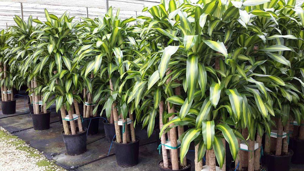 dracaena fragrans 39 massangeana 39 cane corn plant plantvine. Black Bedroom Furniture Sets. Home Design Ideas