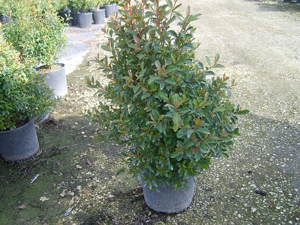 Eugenia Plant Hedge
