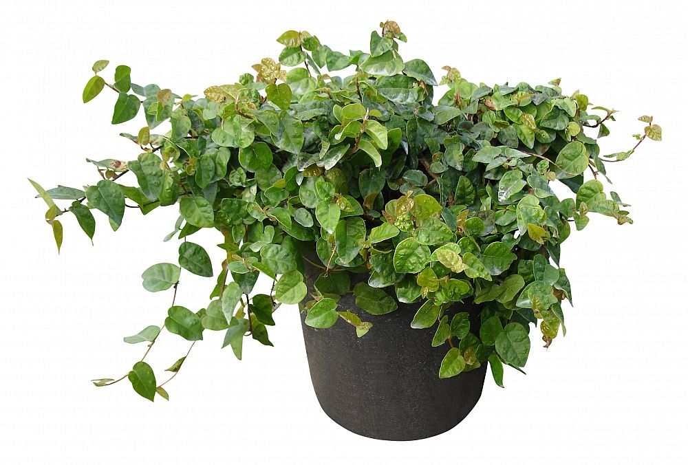 Picture of Live Creeping Fig aka Ficus pumila Plant Fit 5 Gallon Pot