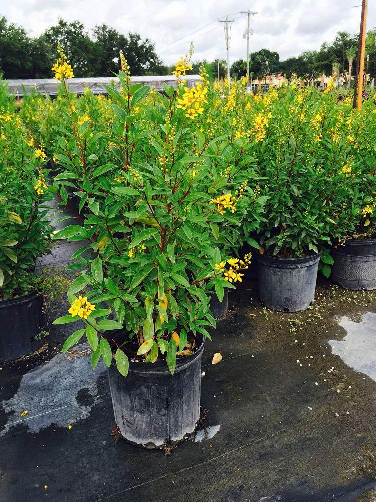 Garden Bush: Buy Galphimia Gracilis, Thryallis