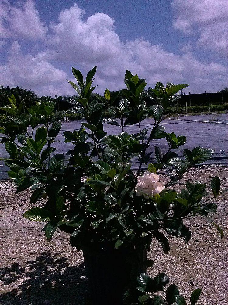 Gardenia Jasminoides Aimee Yashioka Cape Jasmine