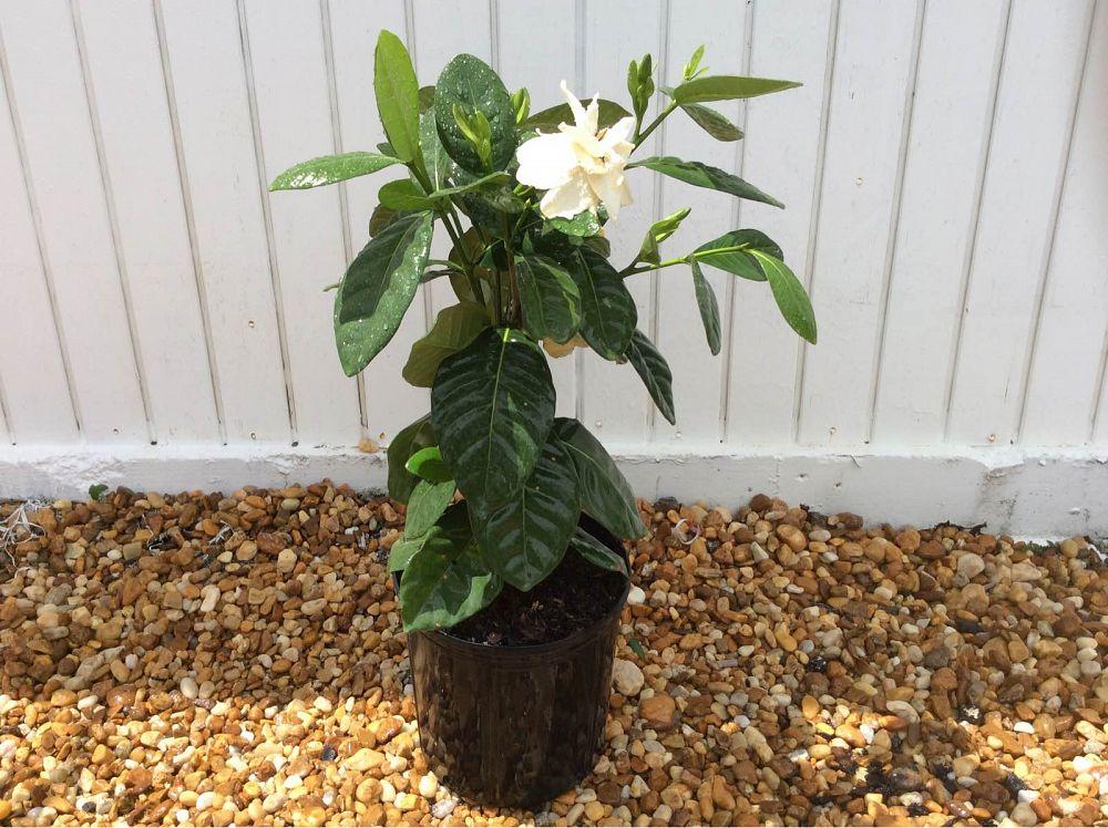 hairy gardenia