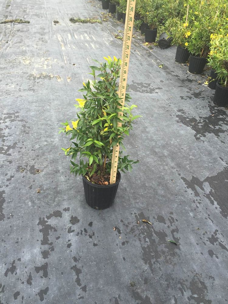 Picture of Live Carolina Jasmine aka Gelsemium semp. - staked Vines Plant Fit 1 Gallon Pot