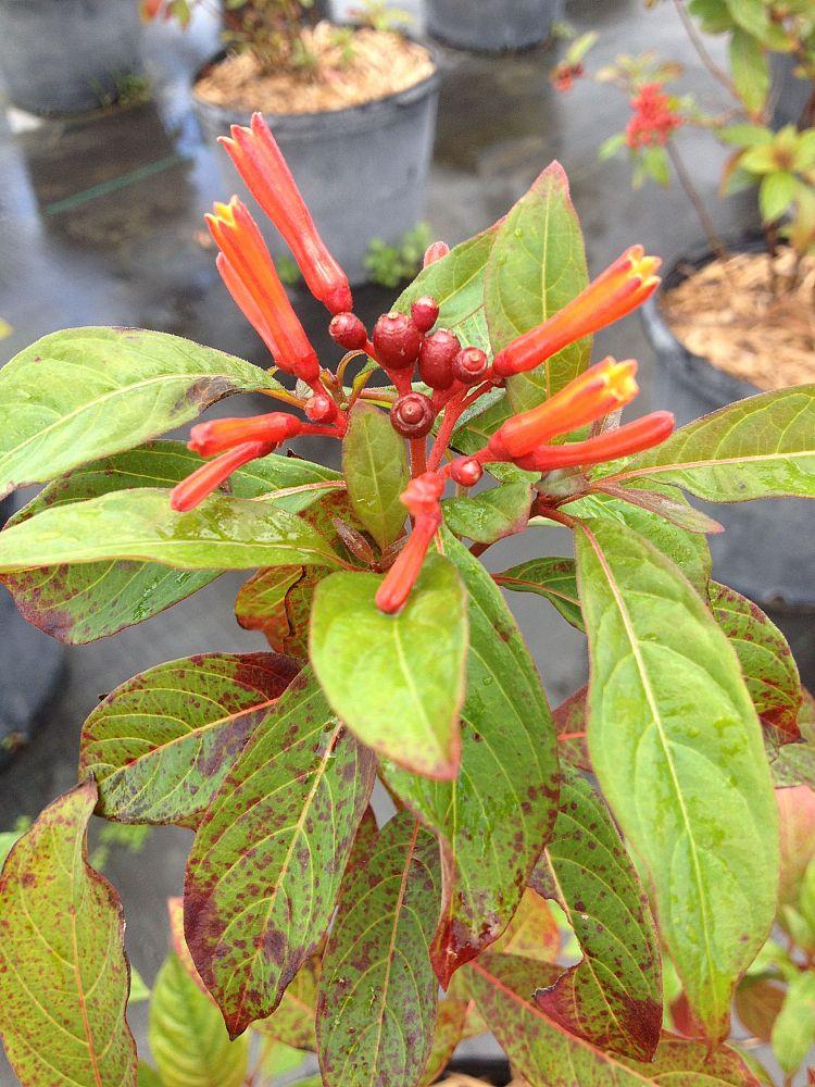 Garden Bush: Hamelia Patens, Firebush, Hummingbird Bush