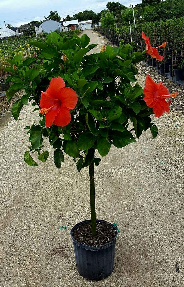Buy Hibiscus President Red Free Shipping Over 100