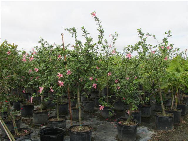 Buy Hibiscus Rosa Sinensis Anderson Crepe Tropical Hibiscus