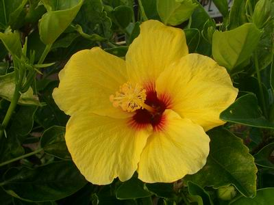 Buy Hibiscus Rosa Sinensis Brilliant Yellow Tropical Hibiscus