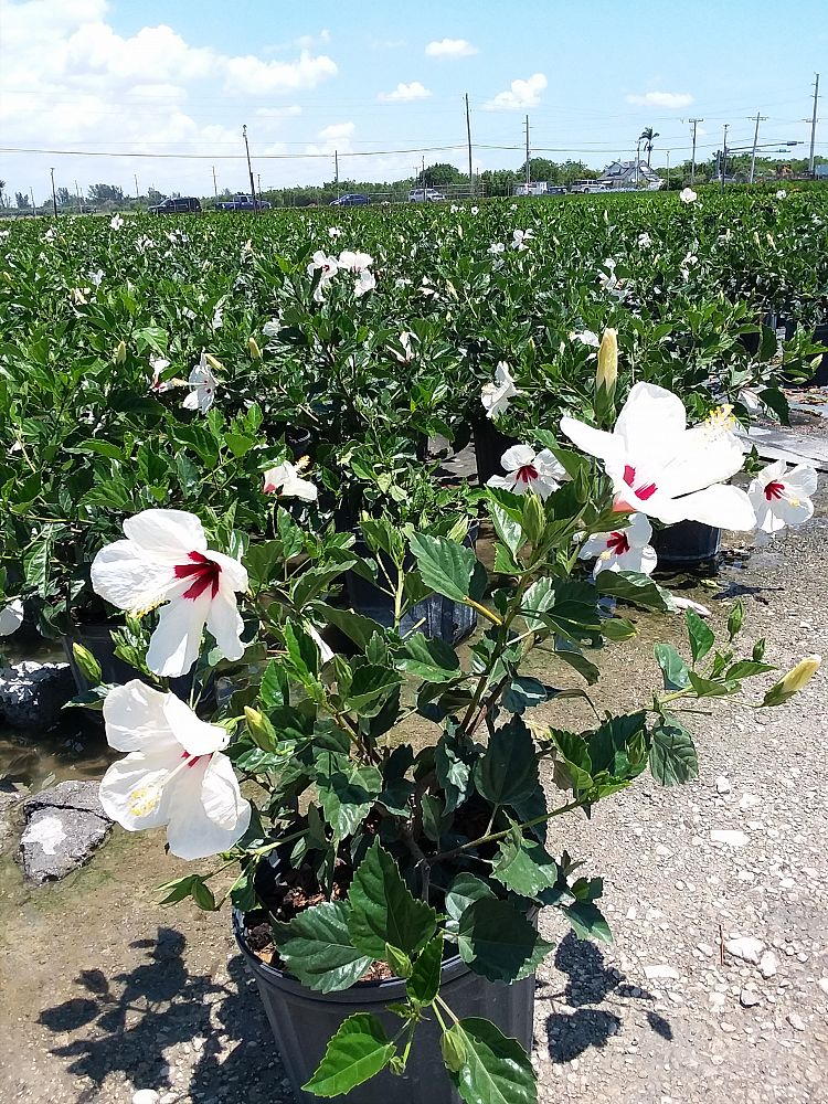 Buy Hibiscus Rosa Sinensis White Wings Tropical Hibiscus Free