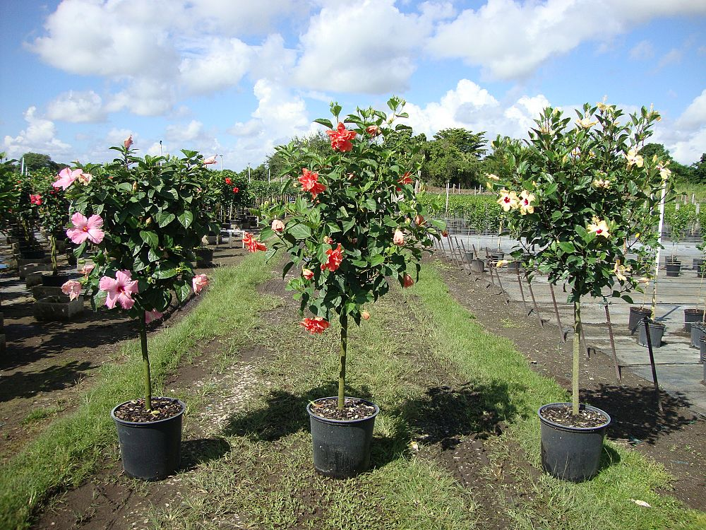 Buy Hibiscus Rosa Sinensis Spp Tropical Hibiscus Free Shipping