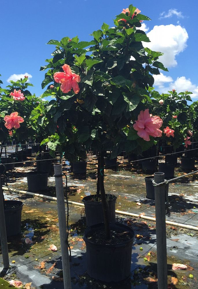 Buy Hibiscus Syriacus Double Pink Rose Of Sharon Althea Free