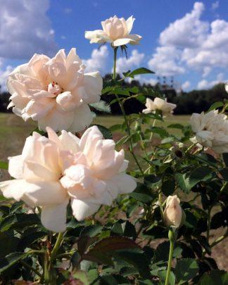 Rosa 'Meiradena', 'Ice Cap' Rose