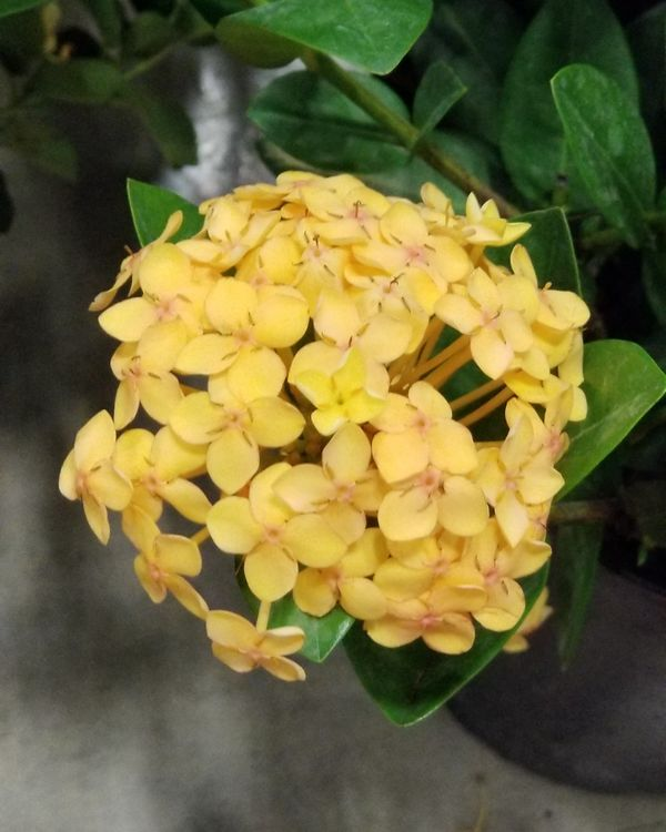 Buy Ixora In Orlando Florida Lake Mary Kissimmee Sanford: Buy Ixora Coccinea 'Maui Yellow', Flame Of The Woods