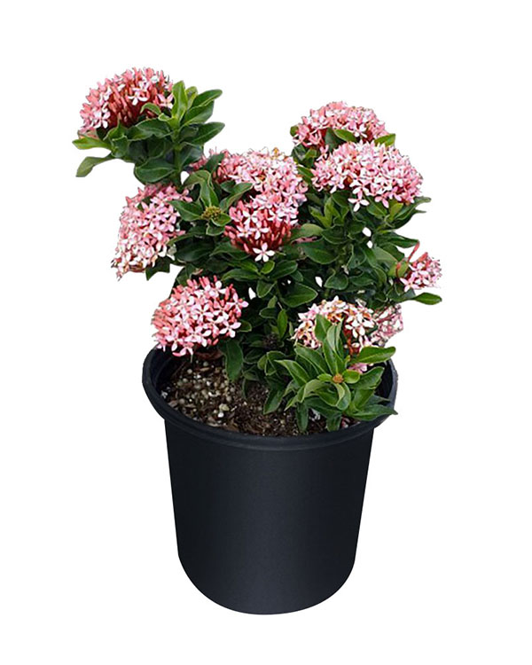 Buy Ixora In Orlando Florida Lake Mary Kissimmee Sanford: Free Shipping Over $100